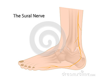 El nervio sural