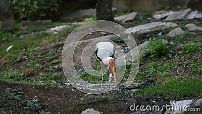 El pájaro de la cigüeña del leucocephala de Mycteria está comiendo los pescados en el río El pájaro blanco con el pico amarillo y almacen de metraje de vídeo