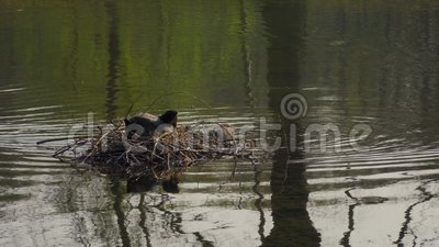 El pato masculino con una rama en sus nadadas del pico hacia la sentada femenina en la jerarquía metrajes