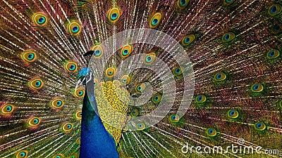 El pavo real sacude sus plumas metrajes