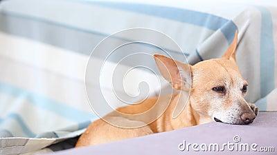 El pequeño perro pelirrojo cae dormido en el sofá El perro lindo está esperando al dueño de la casa y se agujerea Un perro cansad metrajes