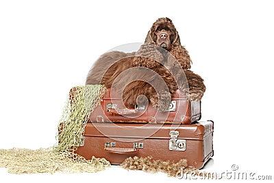 El perro de aguas de cocker americano miente en las maletas de la vendimia