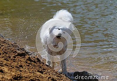El perro del samoyedo