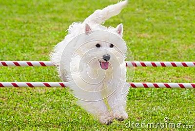 El perro que salta en la competición de la agilidad