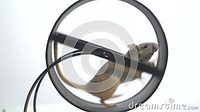 El ratón blanco con un ojo morado corre lentamente en la rueda corriente para los roedores, cámara lenta almacen de metraje de vídeo