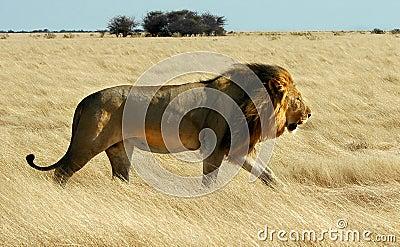 El recorrer del león