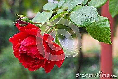 El rojo se levantó en el jardín