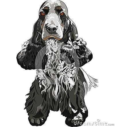 El sentarse inglés de los perros de aguas de cocker del perro de arma