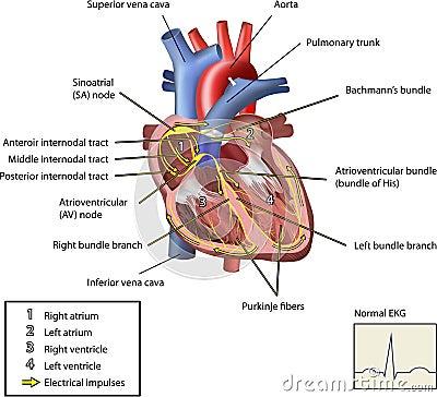 El sistema eléctrico del corazón.
