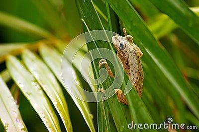 El subir cubano de la rana de árbol