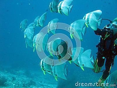 El zambullirse con los batfishes en Maldivas