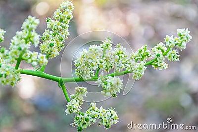 TỨ TUYỆT HOA  - Page 20 Elaeocarpus-flower-blooming-morning-beautiful-shot-blur-background-87371463
