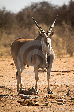 Free Eland Royalty Free Stock Image - 18388126