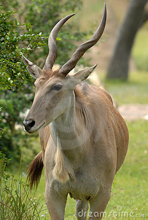 Free Eland Antelope Stock Photography - 2624862