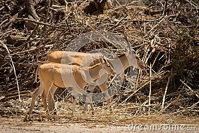 Eland antelope calf