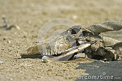 Eland skull