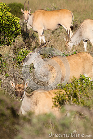 Free Eland - The Largest Antelope In Africa Royalty Free Stock Image - 74293966