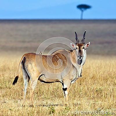 Elandantilope - de grootste antilope in Afrika