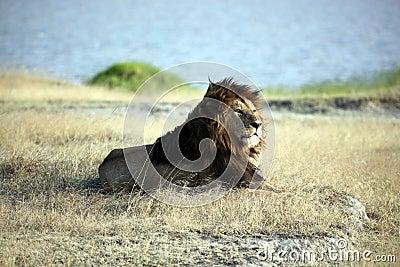 Elder Lion of Ngorongoro Crater