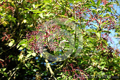 Elderberries growing on an elder