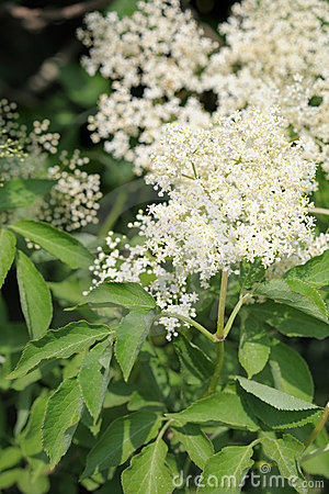 Elderflower (sambucus nigra) clusters
