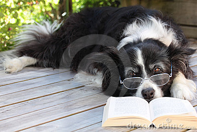 Elderly Border Collie Dog Relaxing with a book