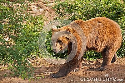 Elderly European brown bear (Ursus arctos) walking