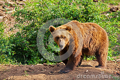 Elderly European brown bear (Ursus arctos) walking