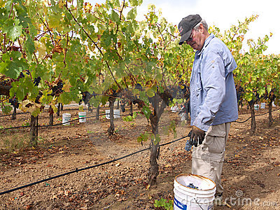 Elderly man picking grapes in vineyard Editorial Image