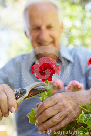 Free Elderly Man Pruning Geraniums Royalty Free Stock Photography - 54946007
