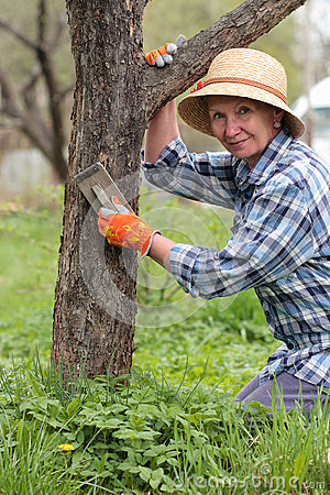 Free Elderly Woman Cleans The Old Apple Tree Bark Royalty Free Stock Image - 41481816