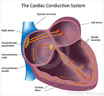 Free Electrical Pathways Of The Heart Stock Photos - 19315183