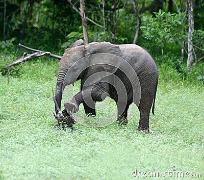 Elefant-Ausdehnen