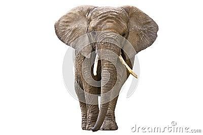 Elefant som isoleras på white