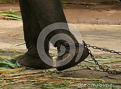 elefante-acorrentado-4812456.jpg