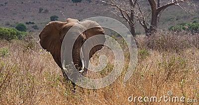Elefante Africano, loxodonta africana, adulto en sabana, mudando Trump, parque Tsavo en Kenia, tiempo real metrajes