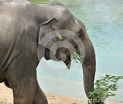 Elefante asiatico