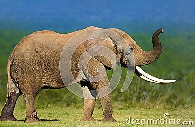 Elefante con los colmillos grandes