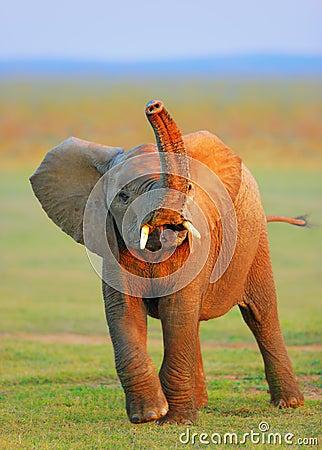 Elefante del bebé - tronco levantado