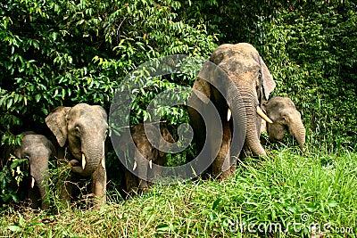 Elefante enano