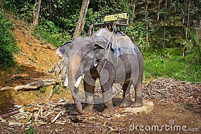 Elefante no parque nacional de Khao Sok