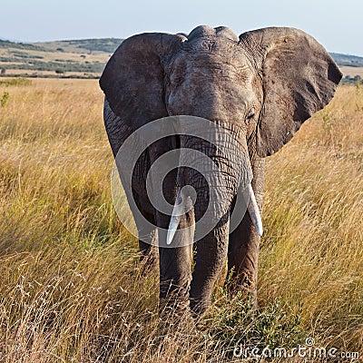 Elefante que recorre en la sabana