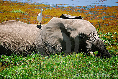 Elefante y pájaro Kenia