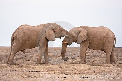 Elefantförälskelse