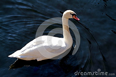 Elegance swan in the lake