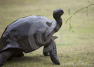 Elegant big turtle being offered green branch