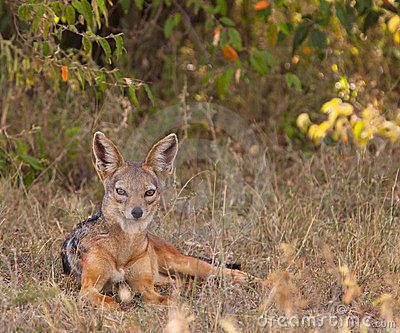 The elegant Black-backed Jackal
