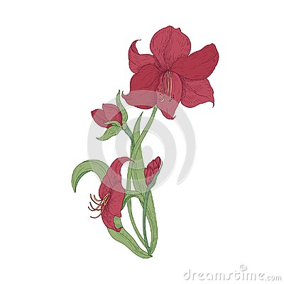 Free Elegant Blooming Red Amaryllis Flowers, Buds And Leaves Hand Drawn On White Background. Detailed Natural Drawing Of Royalty Free Stock Images - 116077339