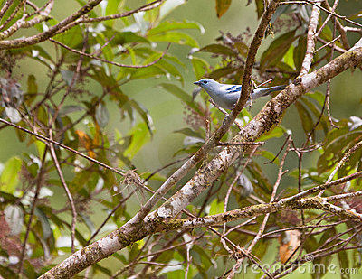 The elegant Blue-gray Tanager