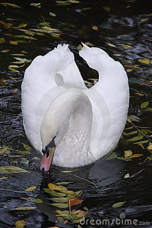 The elegant bow of a swan